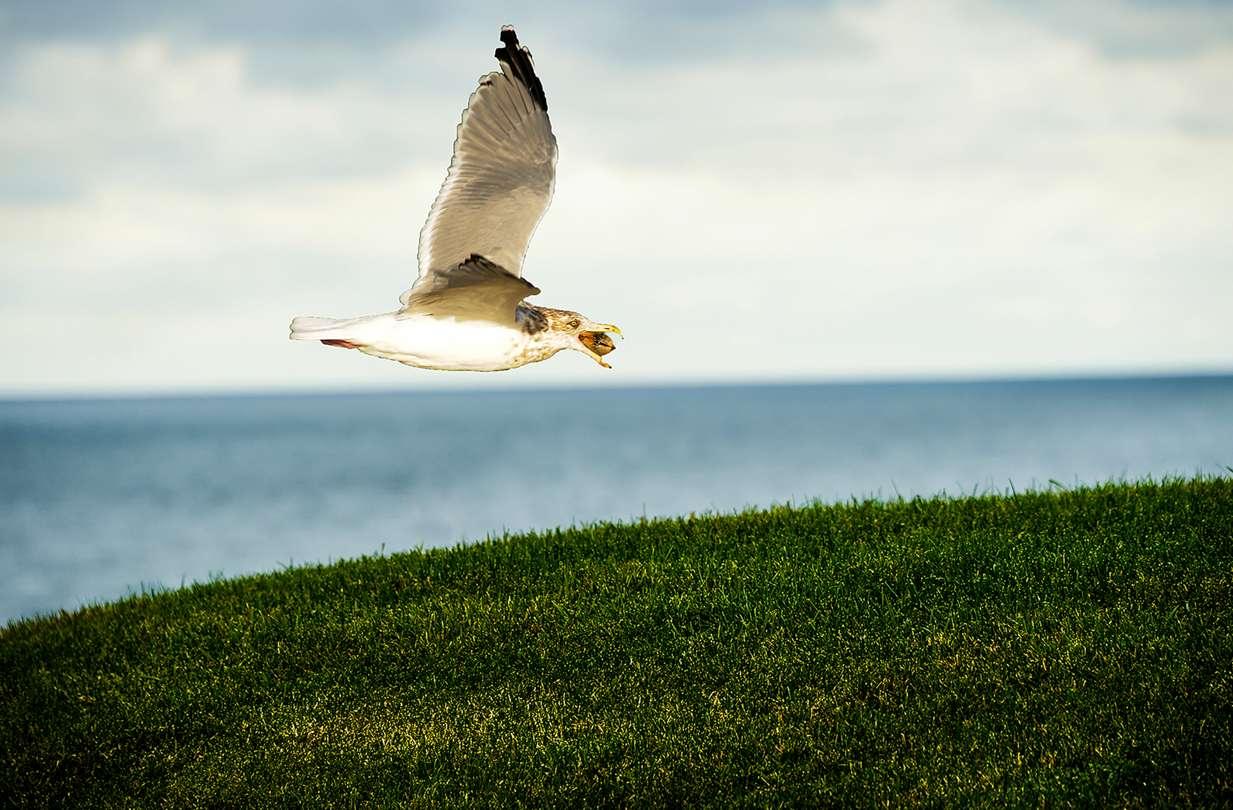 seagull in flight, block island landscapes